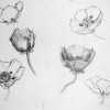poppy drawings thumbnail
