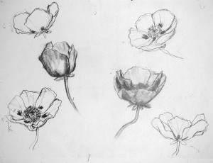 poppy drawings